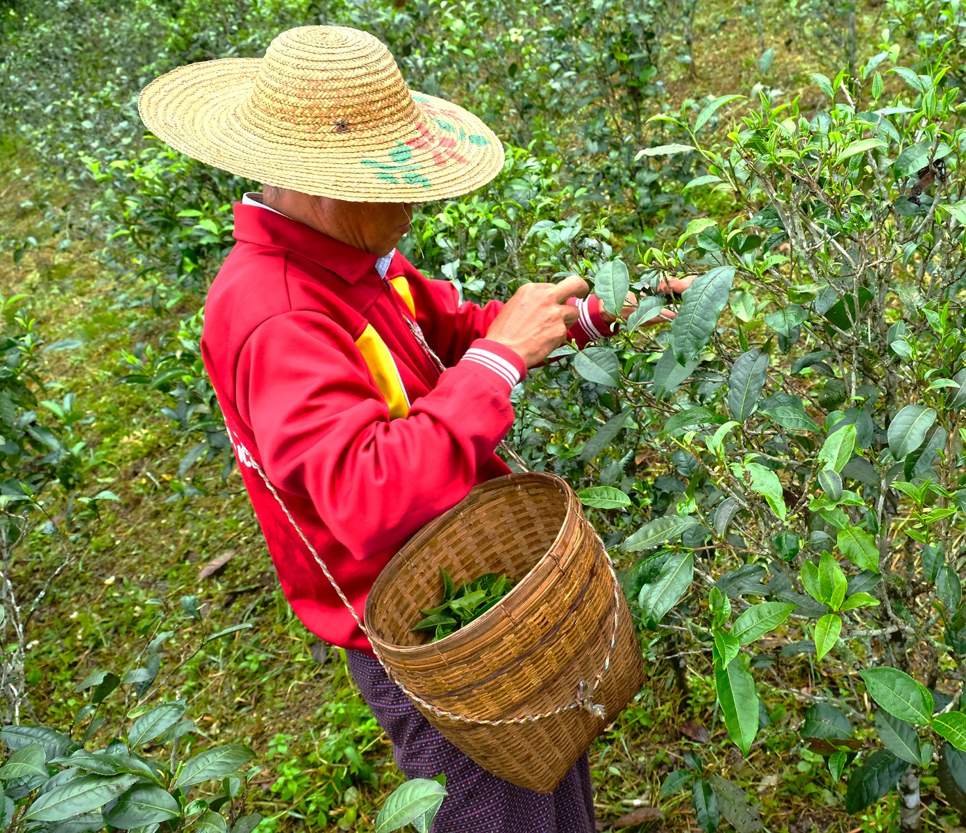 Tea Picker Mogok Tea